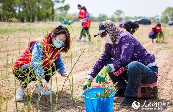 在内蒙古呼和浩特市玉泉区连家营村,党员志愿者和村民在采收芦笋。丁根厚摄